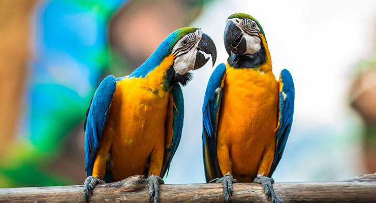 bigstock-A-Pair-Of-Parrots-44251768-web